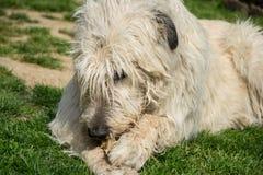 Le chien blanc menteur de chien-loup irlandais mange l'os sur l'herbe Le chien adulte heureux ronge un os dans le jardin sur la p Photo libre de droits