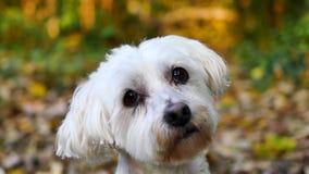 Le chien blanc regarde