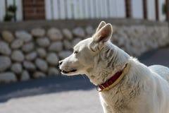 Le chien blanc s'est tourné vers le côté et l'oreille de écoute Images stock