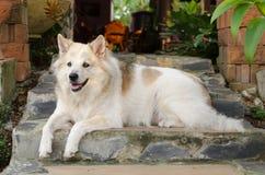 Le chien blanc se trouve sur l'escalier de roche Photo libre de droits