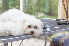 Le chien blanc seul se trouve sur la table photo libre de droits