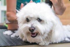 Le chien bolonais blanc apprécie le toilettage photos stock