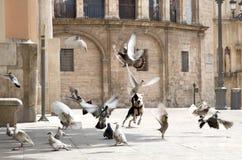 Le chien chasse des pigeons dans la place Images stock