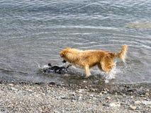 Le chien chasse le jeune cormoran impérial, Punta Arenas, Patagonia, Chili photo libre de droits