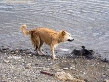 Le chien chasse le jeune cormoran impérial, Punta Arenas, Patagonia, Chili photographie stock libre de droits