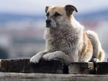 Le chien chasse le jeune cormoran impérial, Punta Arenas, Patagonia, Chili images libres de droits