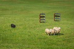Le chien courant déplace le Bélier d'Ovis de moutons dans la ligne après des barrières photographie stock libre de droits