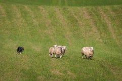 Le chien courant déplace le groupe du Bélier d'Ovis de moutons vers le haut du champ photographie stock libre de droits