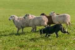 Le chien courant fonctionne avec le groupe du Bélier d'Ovis de moutons photos stock