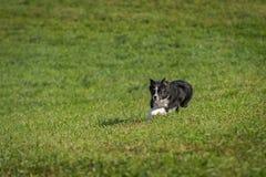 Le chien courant fonctionne en avant Image libre de droits