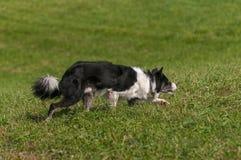 Le chien courant se déplace juste furtivement image stock