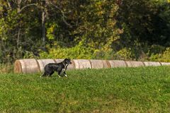 Le chien courant se tient près du foin emballé Photos libres de droits