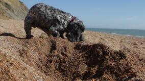 Le chien creuse le trou sur la plage BRITANNIQUE clips vidéos