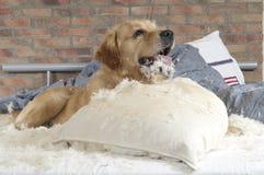 Le chien d'arrêt d'or démolit un oreiller Image stock