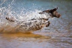 Le chien d'arrêt de Brown Labrador saute dans l'eau photos stock