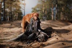 Le chien d'arrêt de tintement de canard de Nova Scotia de chien marche dans les bois photo libre de droits
