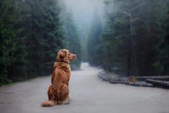 Le chien d'arrêt de tintement de canard de Nova Scotia marche dans les bois images stock
