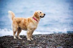 Le chien d'or arrosent avec des baisses d'eau de mer sur la plage photographie stock libre de droits