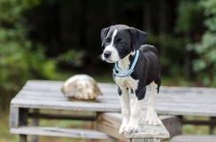 Le chien d'indicateur a mélangé le chiot de race au collier de puce image libre de droits