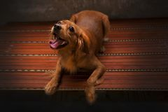 Le chien d'or joue dans la lumière d'or Le golden retriever est beau chien Le chien loyal est meilleur ami Noir comme museau de c Images libres de droits