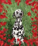 Le chien dalmatien avec s'est levé dans sa bouche Image stock