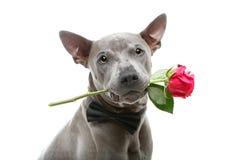 Le chien dans la participation de bowtie s'est levé dans la bouche Images stock