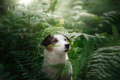 Le chien dans les bois Jack Russell Terrier dans la fougère peu d'animal familier en nature photo stock