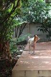 Le chien dans ma maison Photographie stock libre de droits