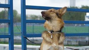 Le chien dans le village se repose attaché à une chaîne Le chien attaché se repose à la barrière Chien attendant son maître images libres de droits