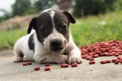Le chien de bébé mangent de la nourriture Image libre de droits