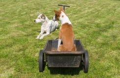 Le chien de Basenji avec l'ami de mélangé-race sont prêt pour le tour frais sur une brouette de roue Photographie stock libre de droits