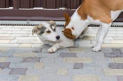 Le chien de Basenji essaye de tirer dedans son ami égaré sous la porte de jardin pour pour avoir l'amusement ensemble Photo stock
