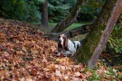 Le chien de Basset Hound marche sur Autumn Leaves photographie stock