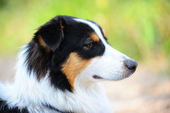 Le chien de berger australien Photos stock