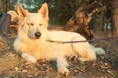 Le chien de Berger Blanc Suisse se situe dans la forêt d'automne au coucher du soleil photos stock