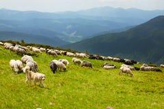 Le chien de berger carpathien photo libre de droits