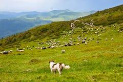 Le chien de berger carpathien image libre de droits