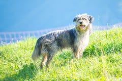 Le chien de berger de Bergamasque dans le pré commande les vaches Photo stock
