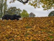 Le chien de berger de border collie sautant dans Autumn Fall pousse des feuilles Photos stock