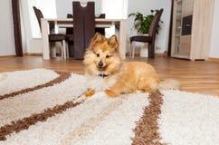 Le chien de berger de Shetland se trouve sur le tapis photographie stock libre de droits