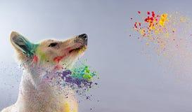Le chien de berger suisse blanc dans un studio Photographie stock