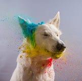 Le chien de berger suisse blanc dans un studio Image stock