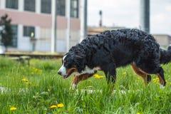 Le chien de Berner Sennenhund de chien de montagne de Bernese marche parmi le gre Image stock