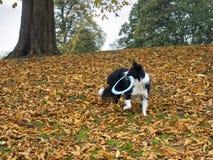 Le chien de border collie jouant en automne pousse des feuilles avec le frisbee Images stock