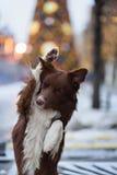 Le chien de border collie s'est exercé pour exécuter des tours dans Photos stock