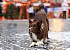 Le chien de border collie s'est exercé pour exécuter des tours dans Image libre de droits