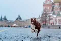 Le chien de border collie s'est exercé pour exécuter des tours dans Photos libres de droits