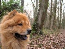 Le chien de bouffe de Chow dans les bois ouvrent la bouche images stock