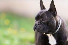 Le chien de bouledogue français se situe dans l'herbe à l'arrière-cour Photo stock