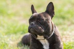 Le chien de bouledogue français se situe dans l'herbe à l'arrière-cour Photographie stock